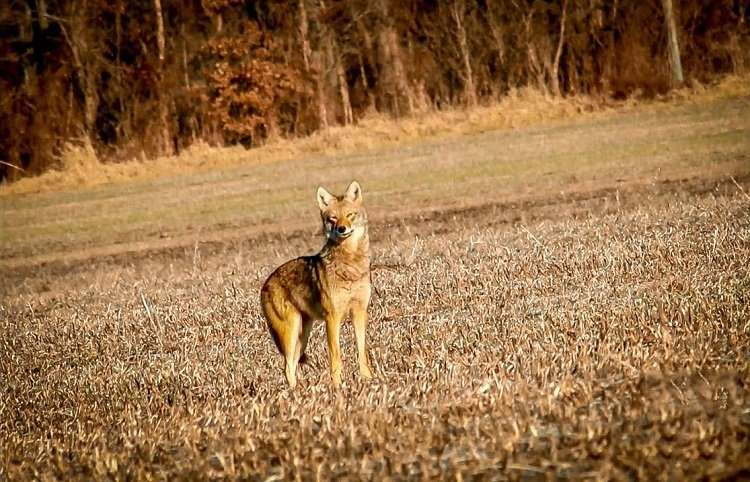Coyote Standing On Field